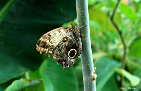 Forrest Giant Owl Butterfly