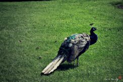 Peacock's awake