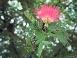 Calliandra dixi pink